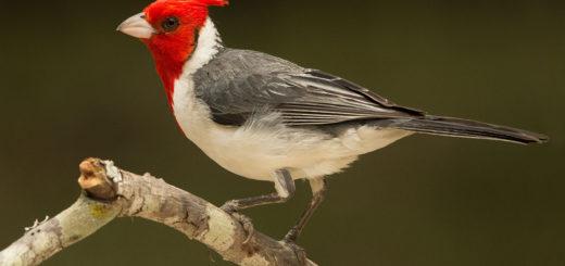 Cardenal y Cardenilla, las aves que colorean de rojo el monte y las riberas