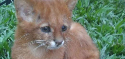 Creyó haber adoptado un gato, pero en realidad era un puma