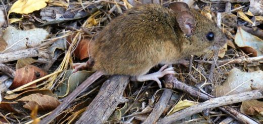 Neuquén: cierran accesos a lagos por una invasión de ratas en la cordillera patagónica