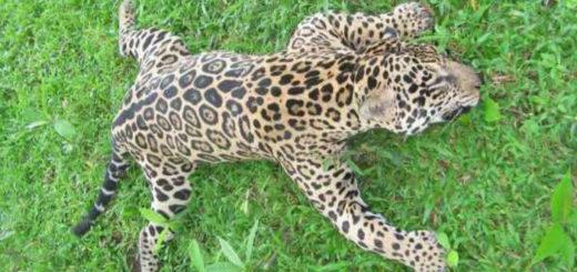 Reclamaron por la falta de avances en la investigación judicial por la yaguareté muerta en Arauco