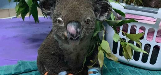 Australia: murió el koala que había sido rescatado de los incendios
