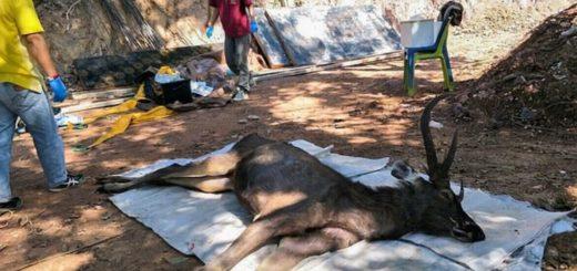 Encontraron a un ciervo muerto con 15 kilos plástico dentro de su estómago