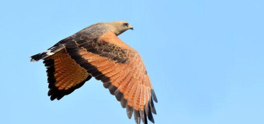 El Aguilucho Colorado, la gran ave rapaz de las sabanas subtropicales que aún pueden observarse en el sur de los campos misioneros
