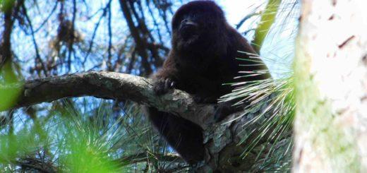 Selva Misionera: reportaron buen estado de conservación de población de monos caí y carayá rojo en una reserva privada y en el Parque Provincial Piñalito