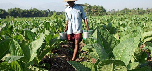 Este viernes finaliza el censo a los tabacaleros y ya se relevaron a más de 12.000 productores