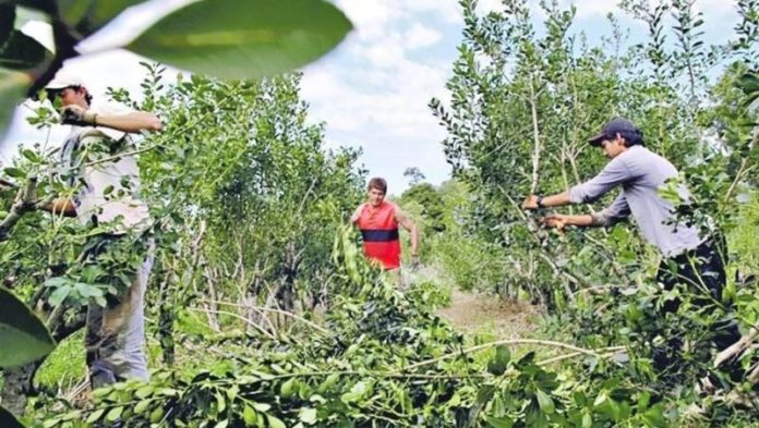 """Yerba mate: productores con """"inscripción provisoria"""" tendrán un año más para regularizar su situación"""