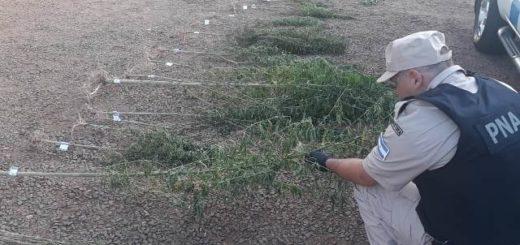 Prefectura desmanteló una plantación de marihuana en el medio del monte en San Ignacio