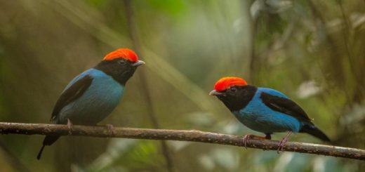 """Bailarín azul, joya tropical que merece el reconocimiento de ser un """"ave provincial"""" de la Selva Misionera"""