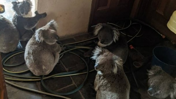 Australia: una pareja rescató del fuego a seis koalas y los alojó en su casa