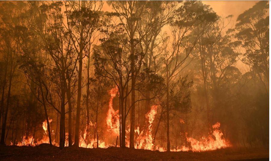 Murió la mitad de la población de koalas por los incendios en Australia y la especie quedó en peligro de extinción