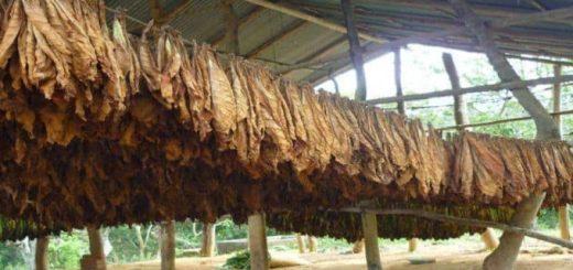 Tabaco: se aguarda la firma de la coordinación nacional para poder pagar los seis pesos por kilo