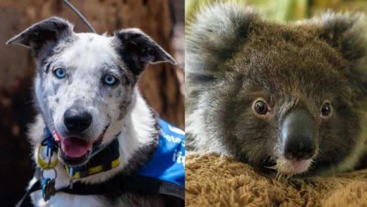 """La triste historia de """"Oso"""", el perro que salvó a cientos de koalas del fuego en Australia"""