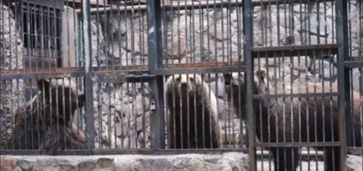 La emotiva liberación de osos que pasaron 20 años en un Zoológico de Mendoza