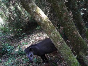 #ConcienciaAmbiental: el ministerio de Ecología de Misiones liberó un ejemplar de tapir hembra en la isla Palacio en el Lago Uruguaí