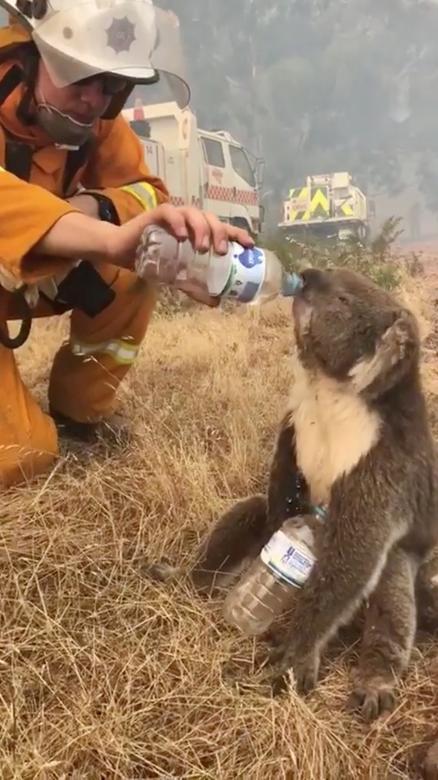 """Incendios en Australia: miles de zanahorias """"caen"""" del cielo para alimentar a los animales que sobreviven a las llamas"""