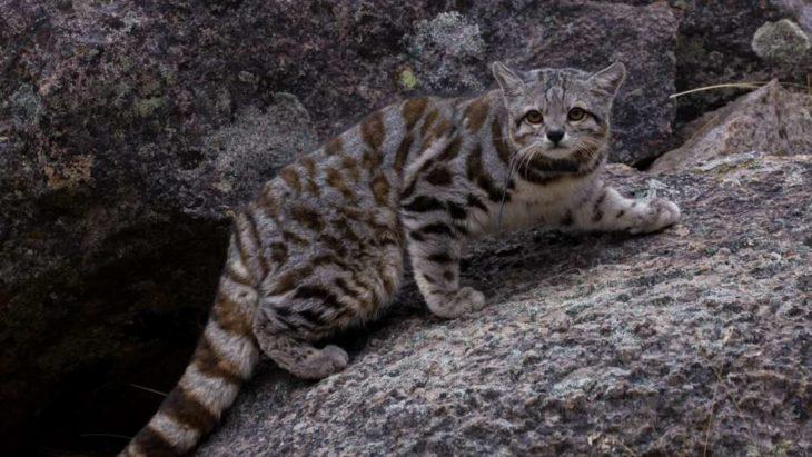 Después de 12 años, reapareció en Mendoza el animal en peligro de extinción más amenazado del continente