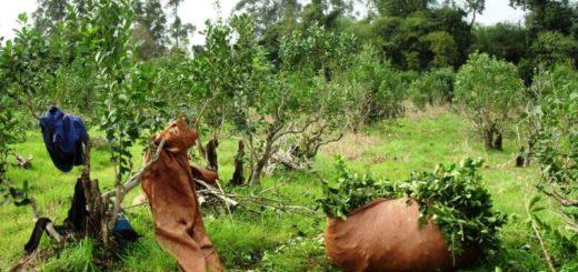 El Ministerio de Trabajo actualiza el Registro de Prestadores de Servicios de la cosecha de Yerba Mate