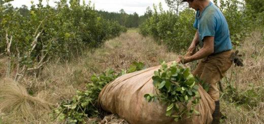 Buscan alternativas para que Misiones tenga mayor participación en el mercado de la yerba mate