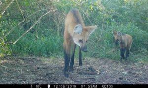 Chaco: registran la presencia del Aguará Guazú y Pecarí Quimilero en el Parque Nacional El Impenetrable