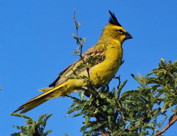 Cardenal Amarillo: su belleza y canto lo han puesto en jaque y es considerada un ave en peligro de extinción a nivel global