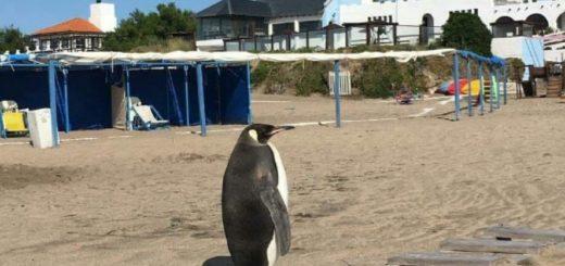 Imagen viral: un pingüino salió del mar y sorprendió a todos en Miramar