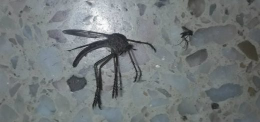 """La historia detrás de la foto del """"mosquito gigante"""" que apareció en Córdoba y causó furor en las redes"""