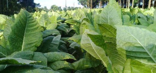 Este jueves pagarán compensación a productores tabacaleros