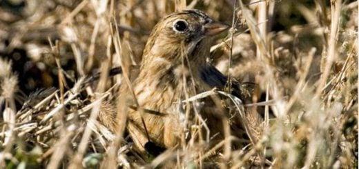 El curioso pájaro que copula más de 350 veces a la semana