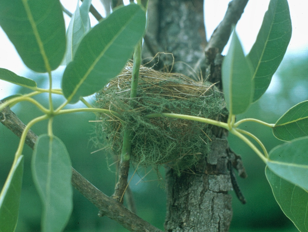 Frutero Cabeza Negra, un bonito pájaro que busca lo alto de los árboles o prefiere estar cerca de los ríos