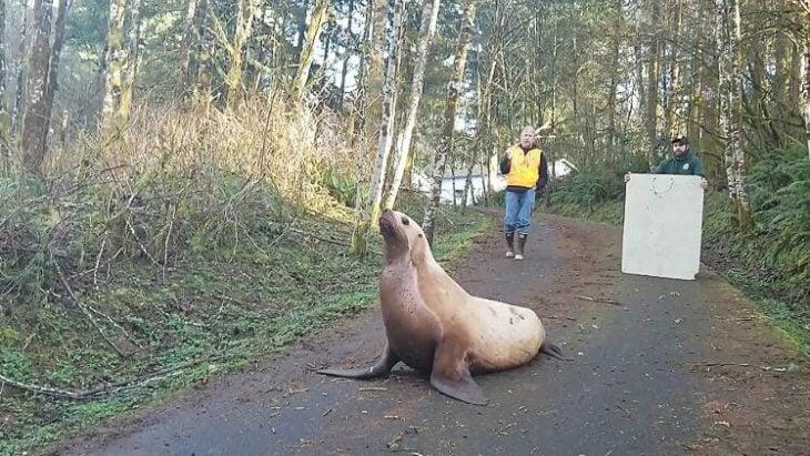 Insólito: encontraron un lobo marino deambulando por un bosque