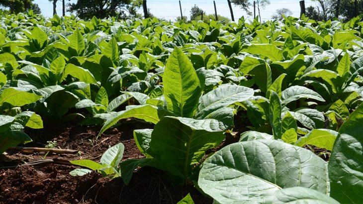 Censo Tabacalero: del 2 al 6 de marzo se registrará a los  productores que no se censaron