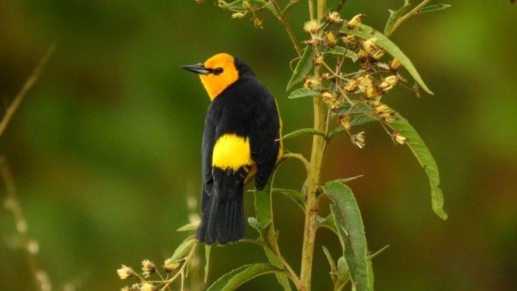 El Tordo Amarillo, una verdadera perla del pastizal de los campos naturales del Sur Misionero