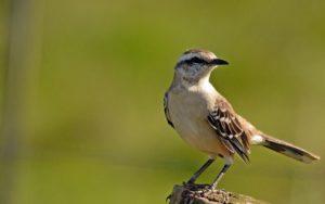 "La Calandria, ave que esconde la leyenda de una ""guaina"" cantora de la selva correntina y un símbolo de libertad"