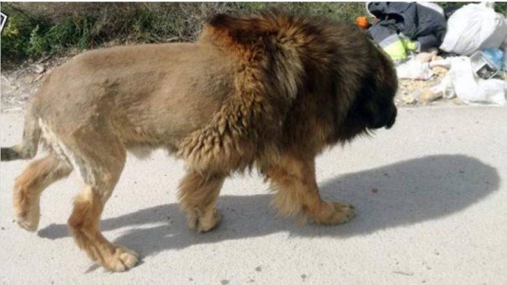 ¿El rey de la selva suelto en la ciudad?: llamaron a la policía pensando que era un león, pero se llevaron una sorpresa