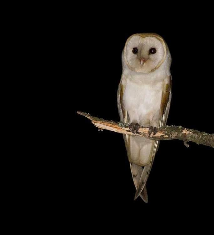 """Aves Argentinas te cuenta sobre """"El Suindá"""", una hermosa lechuza que se encuentra entre el misticismo y una realidad no muy alentadora para su especie"""