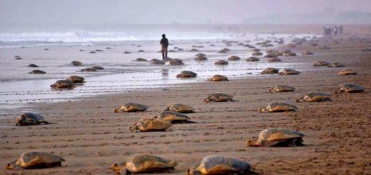 Coronavirus: un grupo de tortugas invadió unas playas vacías por la cuarentena