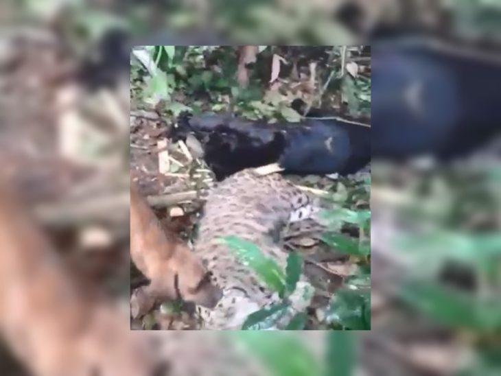 Es falso que hayan cazado una pantera y un yaguareté en Misiones, aunque sí lo hicieron en Brasil