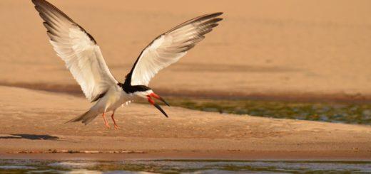 Los rayadores del río Uruguay, emblema y símbolo de una campaña ambiental que se fortalece por la conservación de la especie