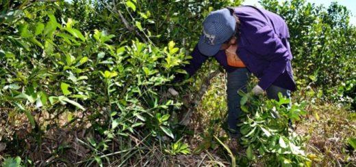 Producir en tiempos de coronavirus: la Cooperativa Andresito ya comenzó la cosecha de yerba mate y paga por encima del valor oficial de la materia prima