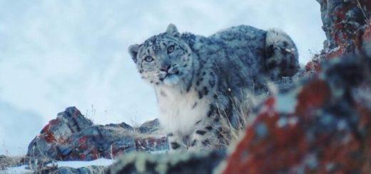 El lado b de la cuarentena: reapareció el leopardo de las nieves, en peligro de extinción