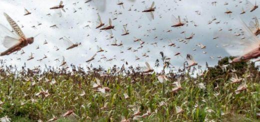 Una plaga de langostas en África deja a millones en situación de inseguridad alimentaria