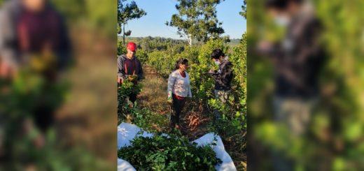 Continúan con fuerza los operativos de control y fiscalización en la cosecha de Yerba Mate