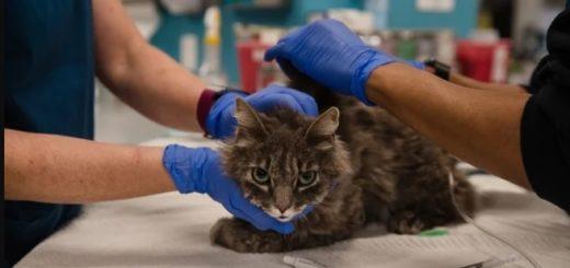 Coronavirus: dos gatos dieron positivo en Nueva York y son las primeras mascotas infectadas en Estados Unidos