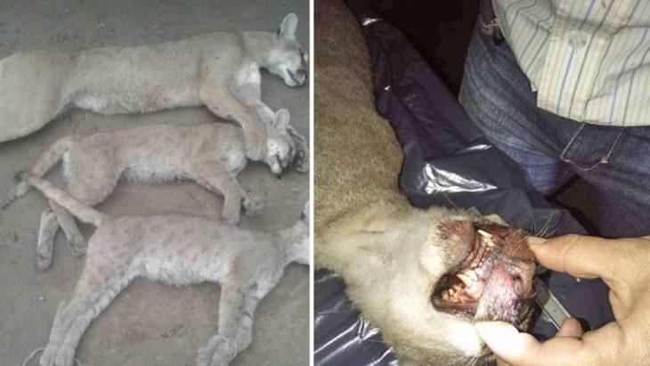 En el Día del Animal rompió la cuarentena para ir a cazar: mató a una mamá puma y sus dos cachorros