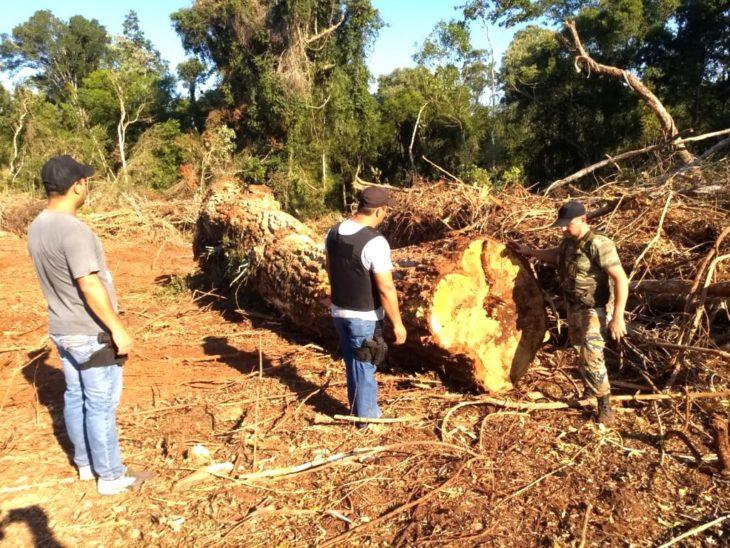 Cortaron un árbol Palo rosa de más de 500 años de antigüedad en la localidad de Andresito, Misiones