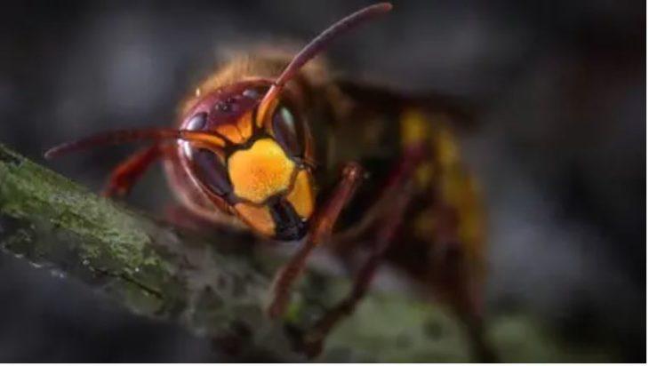 Alerta en Estados Unidos por la invasión de un insecto asiático: es mortal para las personas y destruye colmenas de abejas en cuestión de horas