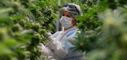 Coronavirus: Costa Rica analiza legalizar la producción de cáñamo para impulsar economía