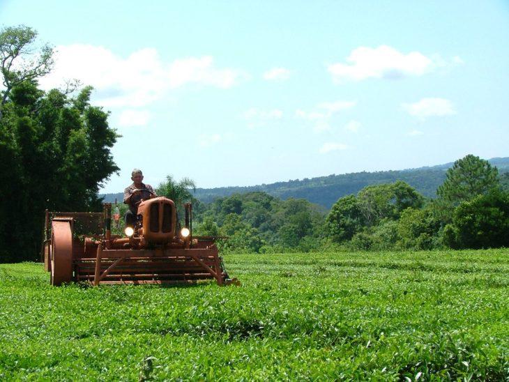 Coronavirus: por cierre de locales gastronómicos en Estados Unidos caen las exportaciones de té misionero