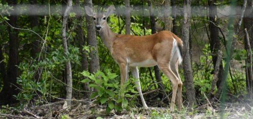 Apareció un ejemplar del ciervo de los pantanos, una especie en peligro de extinción