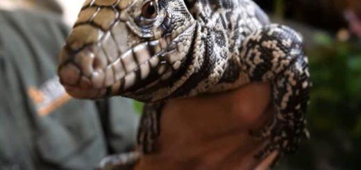 """Alerta en EE.UU. por lagartos argentinos: """"come todo lo que encuentra"""""""